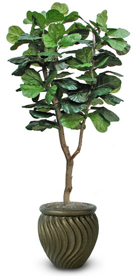 Fiddleleaf Fig Tree