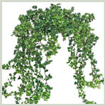 Parsley Vine